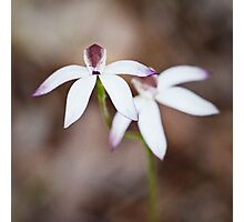 Caladenia gracilis - Musky caladenia Photographic Print