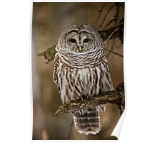 Barred Owl Poster