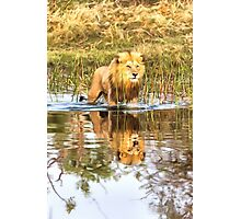 Lion in River with Reflection Photographic Print
