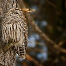Barred Owl by Michael Cummings