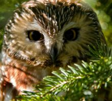 Northern Saw Whet Owl - Amherst Island, Ontario, Canada Sticker