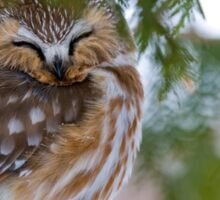 Sleeping Northern Saw Whet Owl - Ottawa, Ontario Sticker