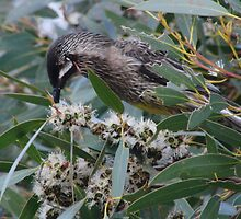 Red Wattlebird feeding at Flinders Chase - Kangaroo Island, South Australia by Dan & Emma Monceaux