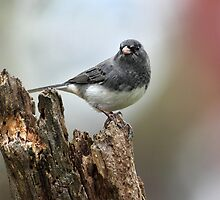 Black And White Bird In Full Color / Slate Colored Junco  by Gary Fairhead