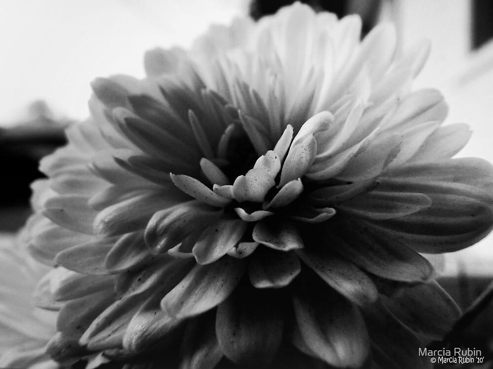 White Dahlia by Marcia Rubin