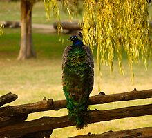 Peacock on a Fence by Jimmy Phillips