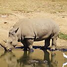 Rhino Reflections  by Deb Coats