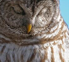 Barred Owl in Tree - Brighton, Ontario by Michael Cummings