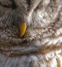 Barred Owl in Tree - Brighton, Ontario Sticker