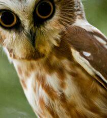 Northern Saw Whet Owl On Branch Sticker