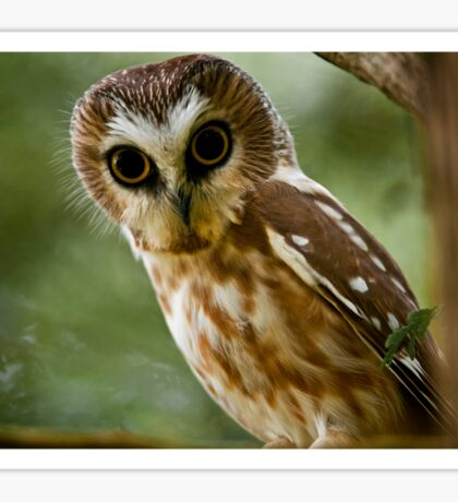 Northern Saw Whet Owl On Branch Sticker