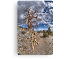 Elder Tree Canvas Print