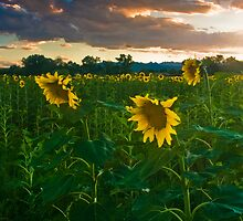 Sunflowers of evening by Paul Gana