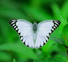 White Butterfly by aditya sakha  kusuma