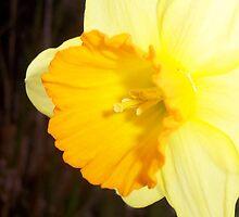 Daffodil by Phrancis Whiteley