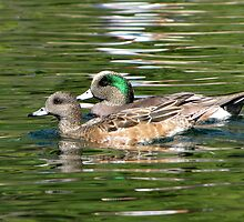 American Wigeon ~ Pair by Kimberly Chadwick