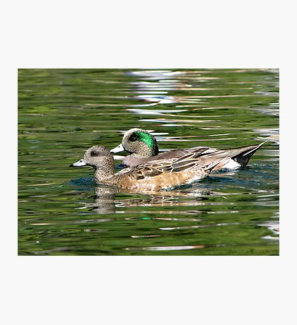 American Wigeon ~ Pair Photographic Print