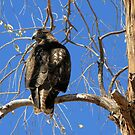Red-tailed Hawk (Juvenile) ~ Talk to the tail! by Kimberly Chadwick