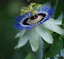 Passion Flower by Betty Maxey