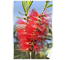 Red bottle brush Poster