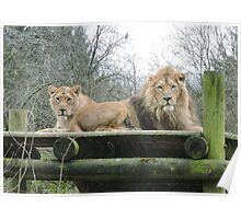Mr & Mrs (Lion) Poster