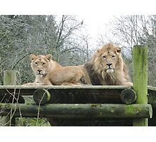 Mr & Mrs (Lion) Photographic Print