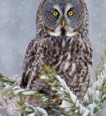 Great Gray Owl Sticker