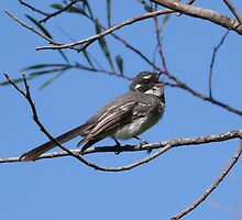 Grey Fantail Singing by Catherine McIver