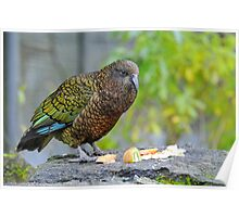 A Kea (Alpine Parrot) At The Te Anau Wildlife Centre. South Island, New Zealand. Poster