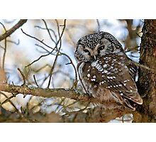 Boreal Owl Photographic Print