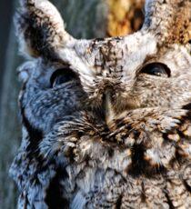 Screech Owl - Ottawa, Ontario Sticker