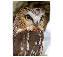 Saw Whet Owl - Amherst Island, Ontario Poster