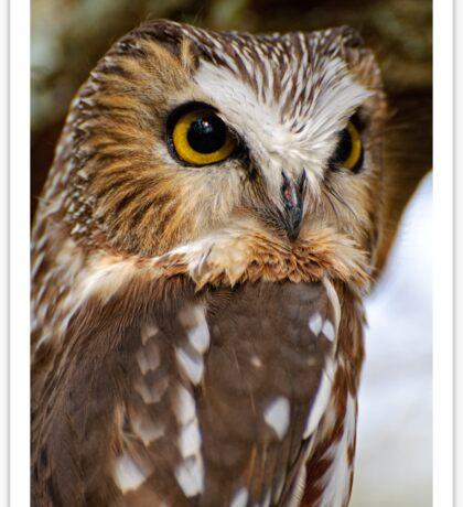 Saw Whet Owl - Amherst Island, Ontario Sticker