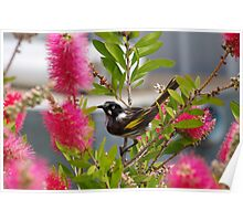 getting a little sweet nectar from the bottlebrush Poster