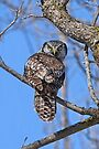 Northern Hawk Owl - Moose Creek, Ontario by Michael Cummings