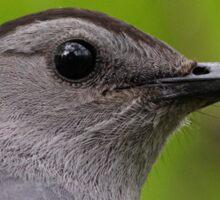Gray Catbird Sticker
