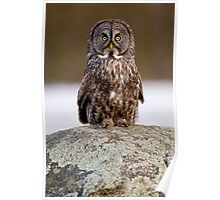 Great Grey Owl - Dunrobin Ontario Poster