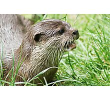 Asian Otter Photographic Print