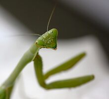 Praying Mantis by Kimberly Palmer