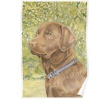 Holly - The Chocolate Labrador Poster