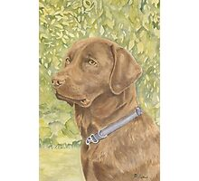 Holly - The Chocolate Labrador Photographic Print