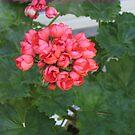 Rosebud Geranium by Pat Yager
