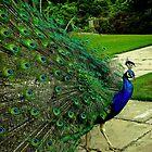 peacock display  by Selina Ryles