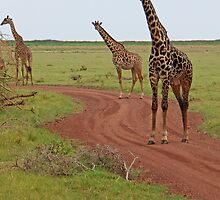 Giraffe Road Block, Lake Manyara National Park, Tanzania, Africa by Adrian Paul