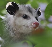 The clever little possum by Trenton Mcwhorter