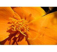 "California Poppy Series 4 ""Bruised"" Photographic Print"