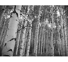 Aspen Grove Photographic Print