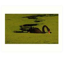 """Black Swan"" Art Print"