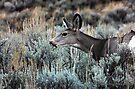 Mule Deer by Jan  Tribe