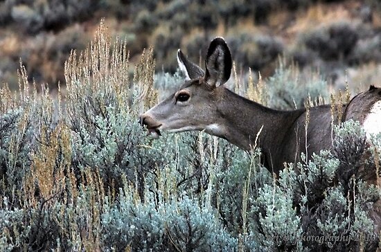 Mule Deer by Jan  Tribe